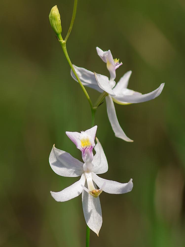 Calopogon Pallidus Pale Grass Pink Go Orchids