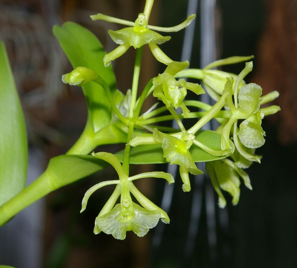 Not For Sale >> Epidendrum floridense (Florida Star Orchid ): Go Orchids