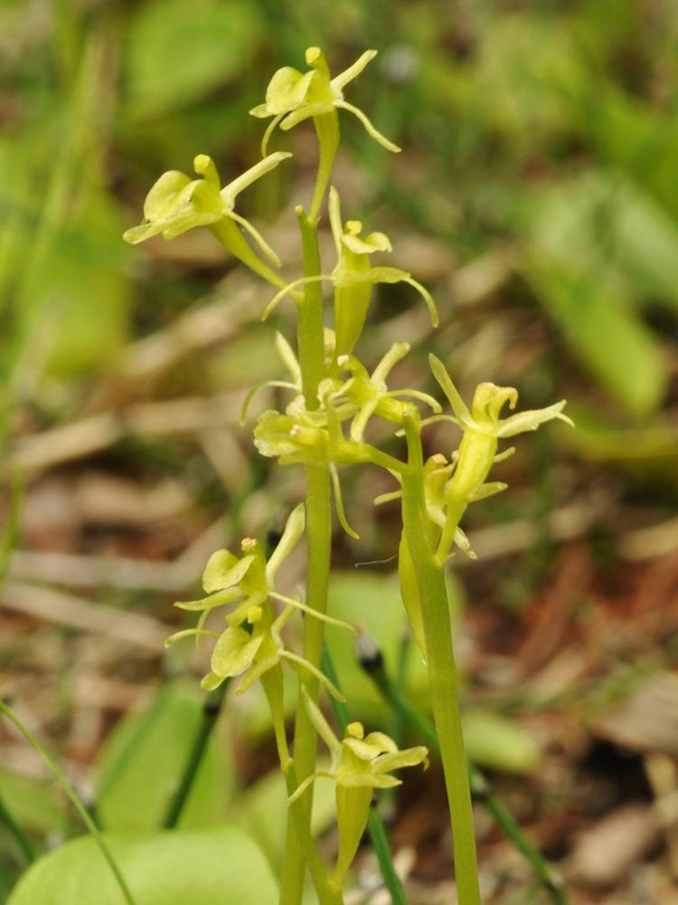 Green Family Stores >> Liparis loeselii (Loesel's Wide Lipped Orchid): Go Orchids