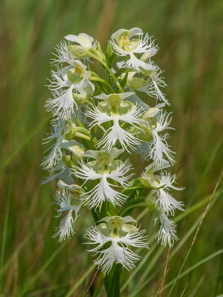 Platanthera Praeclara Great Plains White Fringed Orchid