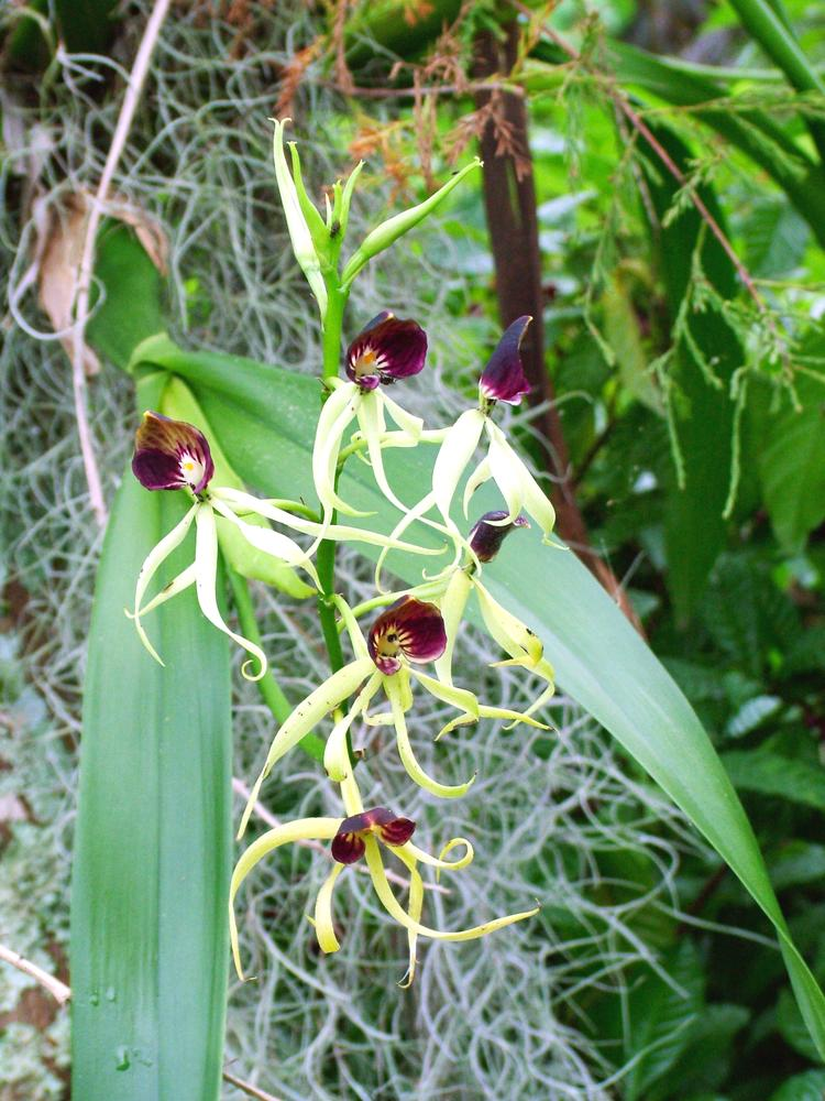 Prosthechea cochleata: Orchid