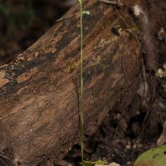Plant form: Beloglottis costaricensis. ~ By Hal Horwitz. ~ Copyright © 2019. ~
