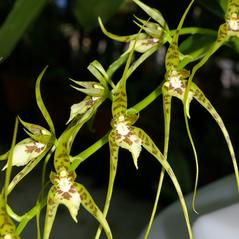 Inflorescences: Brassia caudata. ~ By Mark Larocque. ~ Copyright © 2020. ~