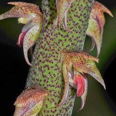 Flowers: Bulbophyllum pachyrachis. ~ By Roger L. Hammer. ~ Copyright © 2019. ~