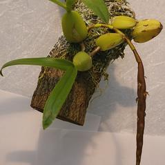 Inflorescences: Bulbophyllum pachyrachis. ~ By Mark Larocque. ~ Copyright © 2020. ~