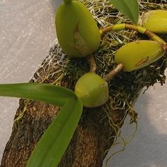 Stem: Bulbophyllum pachyrachis. ~ By Mark Larocque. ~ Copyright © 2018. ~