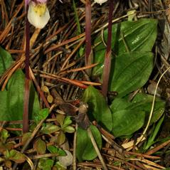 Leaves: Calypso bulbosa. ~ By Gary Van Velsir. ~ Copyright © 2018. ~