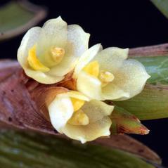 Flowers: Camaridium vestitum. ~ By Luiz Filipe Varella. ~ Copyright © 2018. ~  ~  www.orquideasgauchas.net/P_generos.php