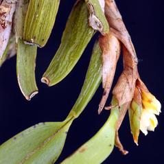 Plant form: Camaridium vestitum. ~ By Luiz Filipe Varella. ~ Copyright © 2018. ~  ~  www.orquideasgauchas.net/P_generos.php