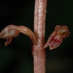 Flowers: Corallorhiza bentleyi. ~ By Gary Van Velsir. ~ Copyright © 2020. ~