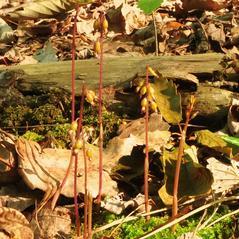 Habit: Corallorhiza odontorhiza. ~ By Gary Van Velsir. ~ Copyright © 2019. ~