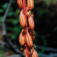 Fruits: Corallorhiza striata. ~ By Tom Nelson. ~ Copyright © 2020. ~