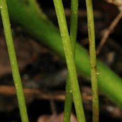 Stem: Corallorhiza trifida. ~ By Gary Van Velsir. ~ Copyright © 2018. ~