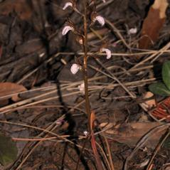 Plant form: Corallorhiza wisteriana. ~ By Gary Van Velsir. ~ Copyright © 2020. ~