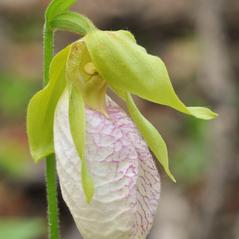 Flowers: Cypripedium acaule. ~ By Gary Van Velsir. ~ Copyright © 2020. ~