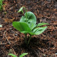 Plant form: Cypripedium fasciculatum. ~ By Ron Hanko. ~ Copyright © 2018. ~  ~ nativeorchidsofthepacificnorthwest.blogspot.com