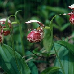 Inflorescences: Cypripedium guttatum. ~ By Marilyn Barker. ~ Copyright © 2018. ~  ~ U. of Alaska
