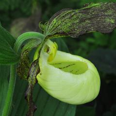 Flowers: Cypripedium kentuckiense. ~ By Gary Van Velsir. ~ Copyright © 2020. ~