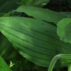 Leaves: Cypripedium kentuckiense. ~ By Gary Van Velsir. ~ Copyright © 2020. ~