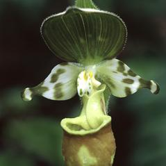 Flowers: Cypripedium yatabeanum. ~ By Lorne Heshka. ~ Copyright © 2020. ~