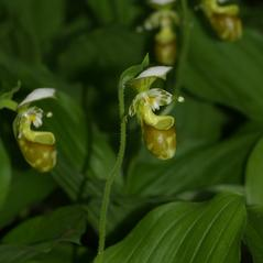 Inflorescences: Cypripedium yatabeanum. ~ By Mark Larocque. ~ Copyright © 2018. ~