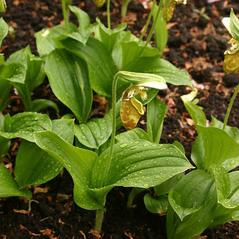 Leaves: Cypripedium yatabeanum. ~ By Henriette Kress. ~ Copyright © 2020. ~  ~ www.henriettes-herb.com