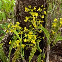 Habit: Cyrtopodium flavum. ~ By Jim Fowler. ~ Copyright © 2019. ~