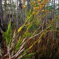 Plant form: Cyrtopodium punctatum. ~ By Brad Wilson. ~ Copyright © 2019. ~