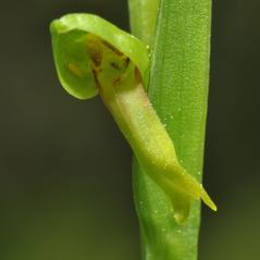 Flowers: Dactylorhiza viridis. ~ By Gary Van Velsir. ~ Copyright © 2018. ~