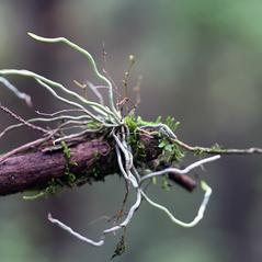 Root: Dendrophylax porrectus. ~ By David McAdoo. ~ Copyright © 2020. ~