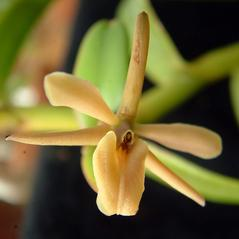Flowers: Epidendrum acunae. ~ By Brett Adams. ~ Copyright © 2021. ~  ~ Belize Botanic Gardens