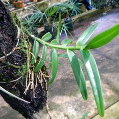 Leaves: Epidendrum acunae. ~ By Dennis J. Giardina. ~ Copyright © 2021. ~  ~ Florida Fish and Wildlife Commission