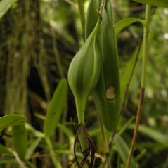 Fruits: Epidendrum nocturnum. ~ By Jake Heaton. ~ Copyright © 2018. ~