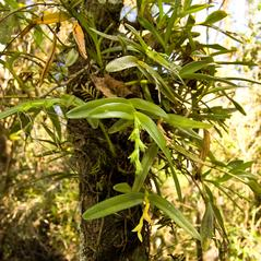 Habit: Epidendrum rigidum. ~ By Rich Leighton. ~ Copyright © 2018. ~  ~ www.leightonphotography.com