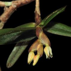 Inflorescences: Epidendrum strobiliferum. ~ By Chris Evans. ~ Copyright © 2018. ~  ~ www.foottraxphotography.com