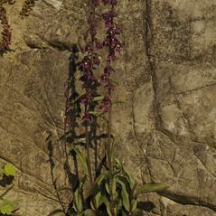 Plant form: Epipactis atrorubens. ~ By Stefan Hertel. ~ Copyright © 2018. ~