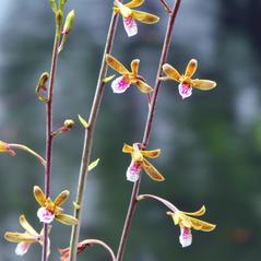 Inflorescences: Eulophia graminea. ~ By Roger L. Hammer. ~ Copyright © 2018. ~