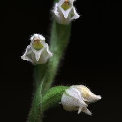Flowers: Goodyera repens. ~ By Jen Modliszewski. ~ Copyright © 2020. ~