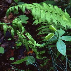 Habit: Isotria medeoloides. ~ By William S. Moye. ~ Copyright © 2020. ~