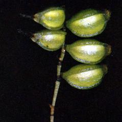 Fruits: Lepanthopsis melanantha. ~ By Carlyle A. Luer. ~ Copyright © 2020. ~  ~ The Native Orchids of Florida