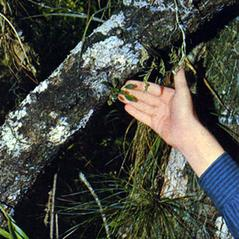 Habit: Lepanthopsis melanantha. ~ By Carlyle A. Luer. ~ Copyright © 2020. ~  ~ The Native Orchids of Florida