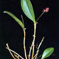 Plant form: Lepanthopsis melanantha. ~ By Carlyle A. Luer. ~ Copyright © 2020. ~  ~ The Native Orchids of Florida