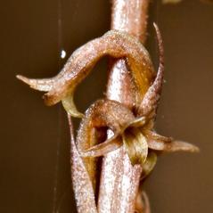 Flowers: Mesadenus lucayanus. ~ By Hal Horwitz. ~ Copyright © 2018. ~