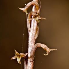 Inflorescences: Mesadenus lucayanus. ~ By Hal Horwitz. ~ Copyright © 2018. ~