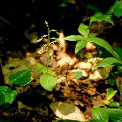 Habit: Neottia convallarioides. ~ By Gary Van Velsir. ~ Copyright © 2018. ~