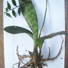 Plant form: Oeceoclades maculata. ~ By Roger Graveson. ~ Copyright © 2019. ~  ~ www.saintlucianplants.com