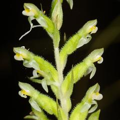 Inflorescences: Pelexia adnata. ~ By Zach Bradford. ~ Copyright © 2020. ~
