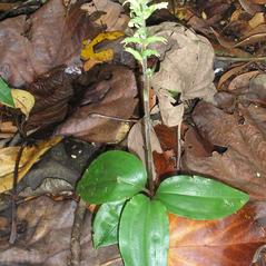 Plant form: Pelexia adnata. ~ By Roger Graveson. ~ Copyright © 2018. ~  ~ www.saintlucianplants.com