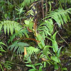 Habit: Peristylus holochila. ~ By Hank Oppenheimer. ~ Copyright © 2021. ~  ~ Plant Extinction Prevention Program