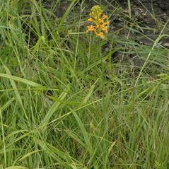 Habit: Platanthera ciliaris. ~ By Gary Van Velsir. ~ Copyright © 2019. ~